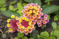 RiggJ_003-2_Blumen